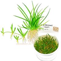 Littorella uniflora 1-2-Grow