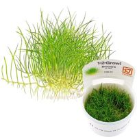 Eleocharis acicularis Mini 1-2-Grow
