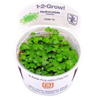 Hydrocotyle tripartita 1-2-Grow