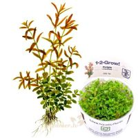 Rotala rotundifolia 1-2-Grow