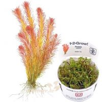 Rotala wallichii 1-2-Grow