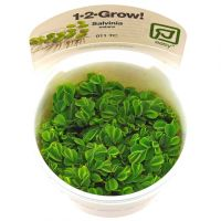 Salvinia auriculata 1-2-Grow