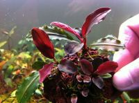 Bucephalandra sp. Red