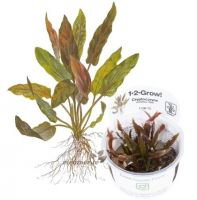 Cryptocoryne undulatus 'Red' 1-2 Grow!
