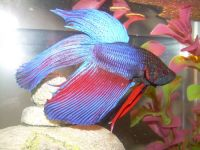 Betta splendens male