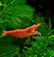 Neocaridina denticulata Red Cherry
