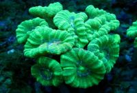 Caulastrea sp, extra green